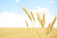 Trigo dourado no campo de grão fotografia de stock royalty free