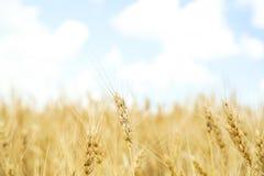 Trigo dourado no campo de grão fotografia de stock
