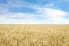Trigo dourado no campo de grão imagem de stock