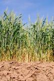 Trigo em campos secos foto de stock royalty free
