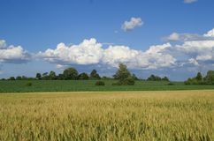 Trigo en el cielo azul Foto de archivo libre de regalías