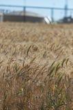 Trigo en el viento Foto de archivo