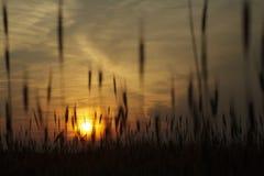 Trigo en fondo de la puesta del sol Foto de archivo