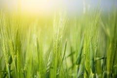 Trigo en fondo soleado Imagen de archivo
