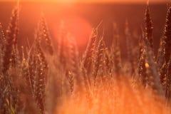 Trigo en la puesta del sol Fotos de archivo libres de regalías