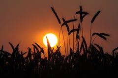 Trigo en la puesta del sol Foto de archivo libre de regalías