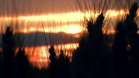 Trigo en la puesta del sol almacen de metraje de vídeo
