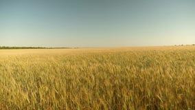 trigo a favor do meio ambiente Campo do trigo de amadurecimento contra o c?u azul Os Spikelets do trigo com gr?o agitam filme