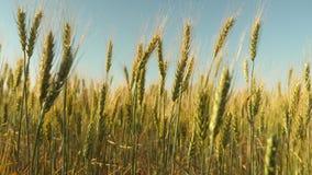 trigo a favor do meio ambiente Os Spikelets do trigo com gr?o agitam o vento campo do trigo de amadurecimento contra o azul vídeos de arquivo