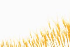 Trigo isolado no branco Fotografia de Stock Royalty Free