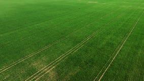 Trigo joven verde o campo ventoso de las variedades del grano de la opinión aérea del abejón almacen de metraje de vídeo