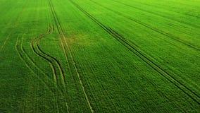 Trigo joven verde o campo ventoso de las variedades del grano de la opini?n a?rea del abej?n almacen de video