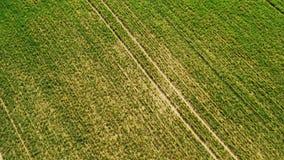 Trigo joven verde o campo ventoso de las variedades del grano de la opini?n a?rea del abej?n metrajes