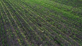 Trigo joven verde o campo ventoso de las variedades del grano de la opini?n a?rea del abej?n almacen de metraje de vídeo