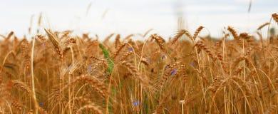 Trigo, lotes do trigo, noite, campos de trigo, orelhas, por do sol, colhendo imagens de stock royalty free
