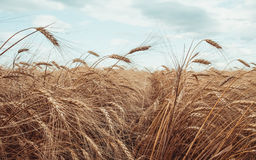 trigo maduro Fotos de Stock