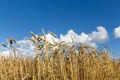 Trigo maduro contra fondo del cielo azul. Imagen de archivo