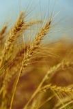 Trigo maduro dourado imagens de stock