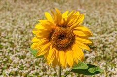 Trigo mourisco da flor do girassol Imagem de Stock