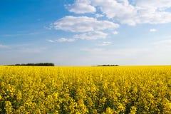 Trigo mourisco de florescência Wildflowers amarelos Natureza, paisagem agricultura Imagem de Stock Royalty Free