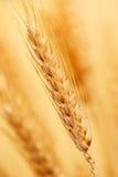Trigo na exploração agrícola Fotos de Stock