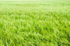 Trigo na terra de exploração agrícola Imagem de Stock