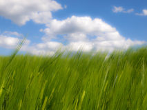 Trigo no vento Imagem de Stock