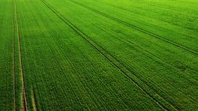 Trigo novo verde ou campo ventoso das variedades da gr?o da opini?o a?rea do zang?o filme