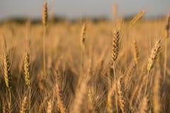 Trigo pelo campo O trigo imagem de stock royalty free