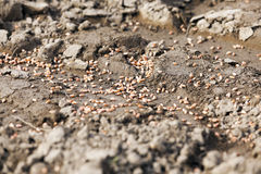 Trigo procesado sowing Foto de archivo