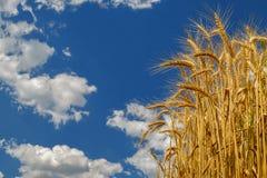 Trigo que crece en campo en fondo del cielo nublado Imagen de archivo