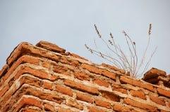 Trigo que cresce em tijolos vermelhos Imagem de Stock