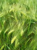 Trigo verde Imagen de archivo libre de regalías