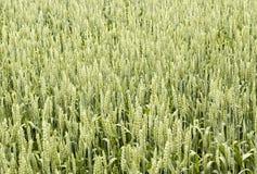 Trigo verde Imagens de Stock