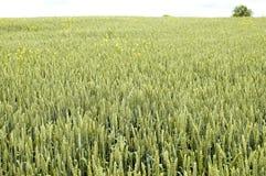 Trigo verde imagem de stock