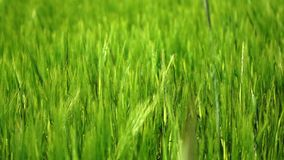 Trigo verde Foto de Stock Royalty Free