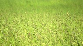 Trigo verde Imagem de Stock Royalty Free
