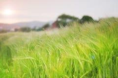 Trigo verde Fotografia de Stock