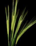 Trigo verde Foto de archivo libre de regalías