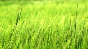 Trigo verde almacen de metraje de vídeo