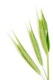 Trigo verde fotos de stock royalty free