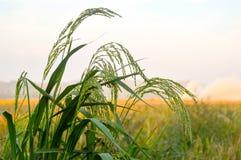Trigo verde do arroz Imagem de Stock