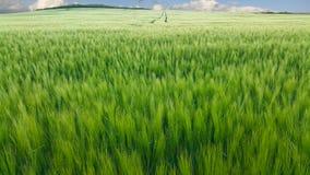 Trigo verde en el campo Foto de archivo libre de regalías