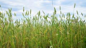 Trigo verde en el campo, fragmento almacen de video