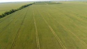 Trigo verde en el campo, visión superior con un abejón Textura del fondo del verde del trigo Fotografía de archivo libre de regalías