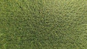 Trigo verde en el campo, visión superior con un abejón Textura del fondo del verde del trigo Foto de archivo