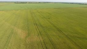 Trigo verde en el campo, visión superior con un abejón Textura del fondo del verde del trigo Fotografía de archivo