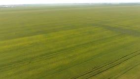 Trigo verde en el campo, visión superior con un abejón Textura del fondo del verde del trigo Imagen de archivo