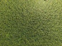 Trigo verde en el campo, visión superior con un abejón Textura del fondo del verde del trigo Imagenes de archivo