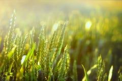 Trigo verde hermoso y luz del sol Imágenes de archivo libres de regalías